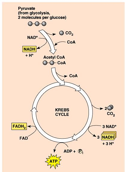 The conversion of pyruvate and the Krebs cycle