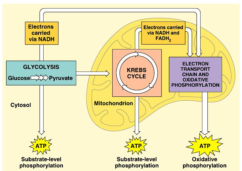 1. Respiration involves glycolysis, the Krebs cycle, and electron transport: an overview Respiration occurs in three