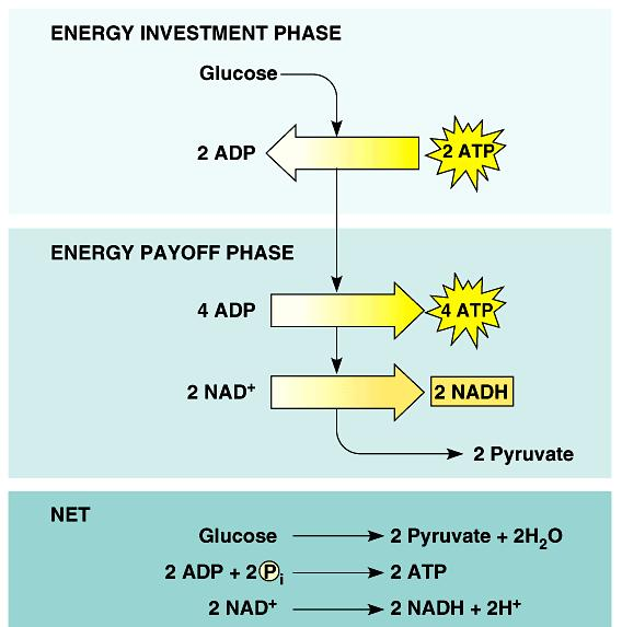 In the energy investment phase, ATP provides activation energy by phosphorylating glucose. This requires 2 ATP per glucose.