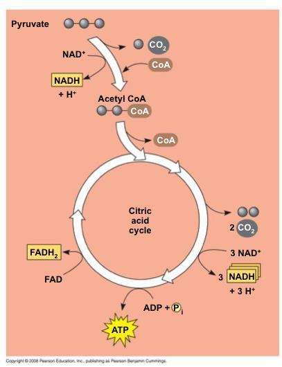 The citric acid cycle, also called the Krebs cycle, takes place within the mitochondrial matrix