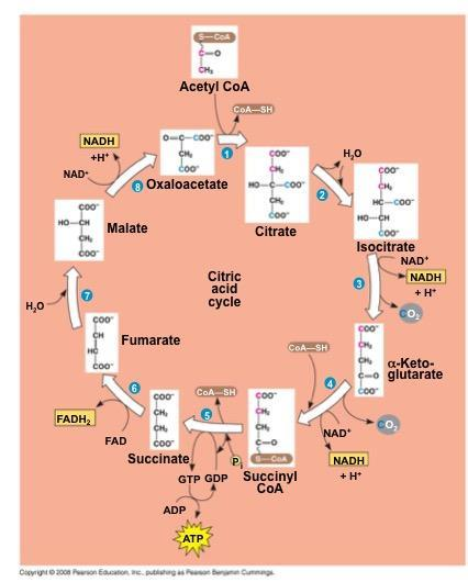 The citric acid cycle has eight steps, each catalyzed by a specific enzyme The acetyl group of acetyl CoA joins the cycle by combining with oxaloacetate, forming citrate The next seven