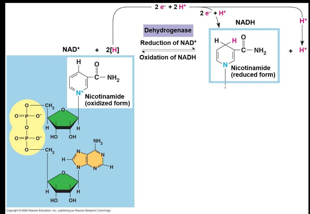 Stepwise Energy Harvest via NAD + and the Electron Transport Chain In cellular respiration, glucose and other organic molecules are broken down in a series of steps Electrons from organic compounds