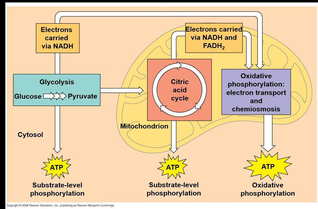 The Stages of Cellular Respiration: A Preview Cellular respiration has three stages: Glycolysis (breaks down glucose into two molecules
