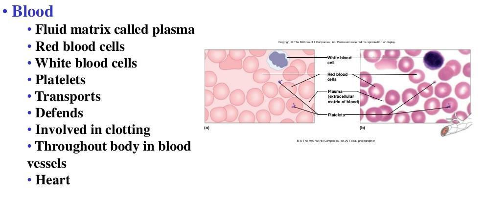 Cell and Tissue Types. Epithelial, Connective, Muscle, Nerve - PDF