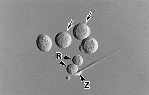 5612 Developmental Biology: Ogura et al. Proc. Natl. Acad. Sci. USA 95 (1998) FIG. 1. Isolated mouse primary spermatocytes (arrows).
