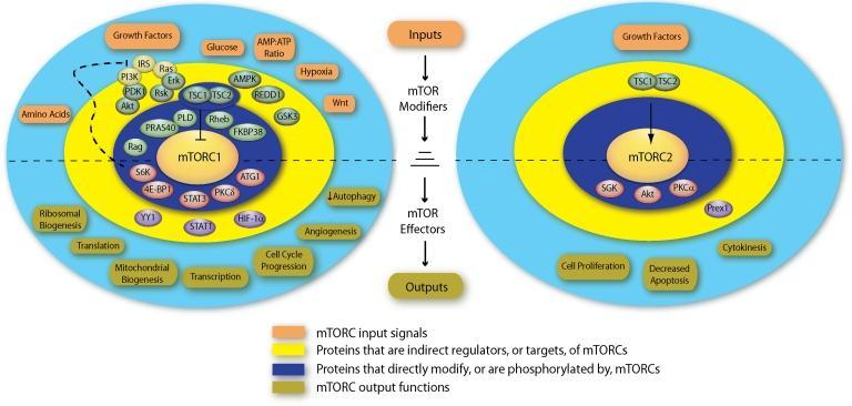 Figure 1 Figure 1: mtor Signalling Elements and Responses [30] mtor complex showing signaling activities of mtorc1 and mtorc2 organized into concentric spheres.
