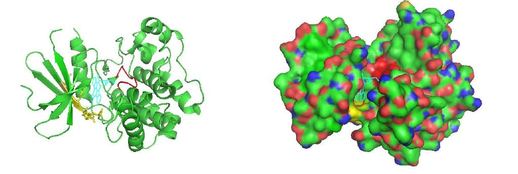 Figure 2 Figure 2: 3D model of PKCδ kinase domain containing TOS motif This PKCδ kinase domain is shown in this 3D model developed in our lab.