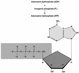 Adenosine Triphosphate Structure of ATP We convert food: Fat, Carbohydrate (CHO), Protein (limited) Into energy: Adenosine TriPhosphate (ATP) Adenosine is a complex structure Phosphates (3 simpler