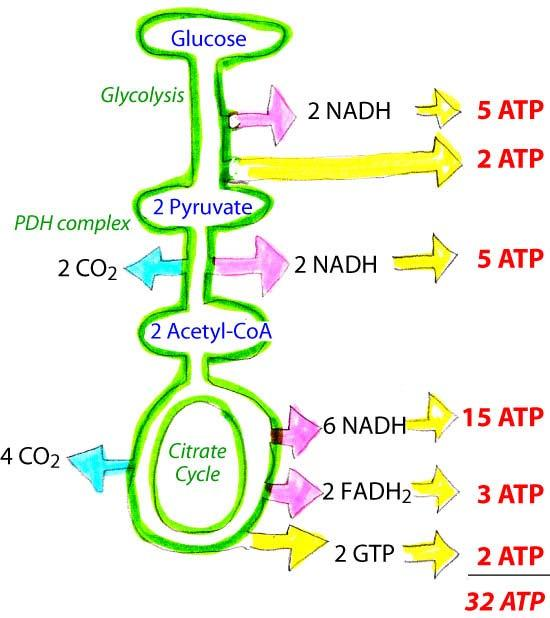 Reducing power of 10 NADH and 2 FADH 2 can be converted to ATP equivalents using the currency exchange ratios of ~2.5 ATP/NADH and ~1.