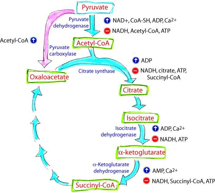 Regulation Of The Citrate Cycle The three main control points: 1. citrate synthase 2. isocitrate dehydrogenase 3.