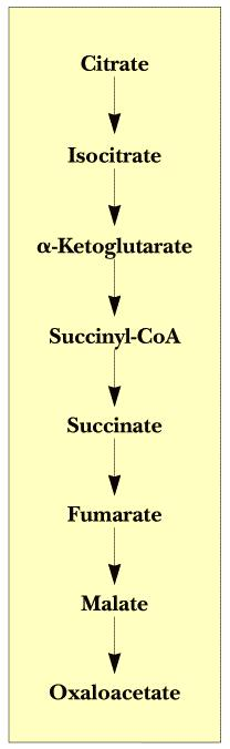 The Tricarboxylic acid (TCA) cycle (citric acid cycle) is amphibolic (both catabolic and anabolic) The TCA Cycle Serves Two Purposes: 1.