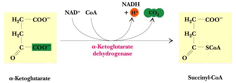 - Purpose of step: Collect energy from α-ketoglutarate decarboxylation into the high energy succinyl-coa molecule 5.