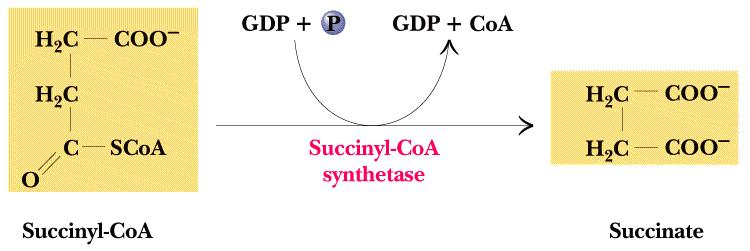Two forms in higher animals: One prefers ADP the other GDP) SUBSTRATE-LEVEL PHOSPHORYLATION = Formation of ATP directly coupled to the reaction (group transfer reaction) Only step