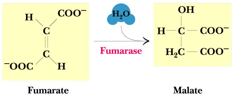 7. Fumarase Stereospecific trans addition of water to the double bond of fumarate to form L-malate - Only forms the L-isomer - Non-hydrolytic cleavage reaction 8.