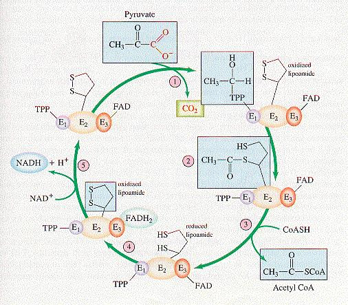 The Pyruvate Dehydrogenase (PDH) complex The PDH complex consists of 3 enzymes. They are: pyruvate dehydrogenase (E1), Dihydrolipoyl transacetylase (E2) and dihydrolipoyl dehydrogenase (E3).