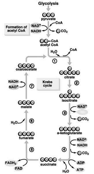 3) Cellular Respiration - Sequence of Events: B) Krebs Cycle (Citric Acid Cycle): C C - CoA (x 2) Acetyl CoA 3 NAD + (x 2) 3 NADH (x 2) ATP ADP Krebs Cycle FAD (x 2) ( C C ) 2 CO 2 (x 2)