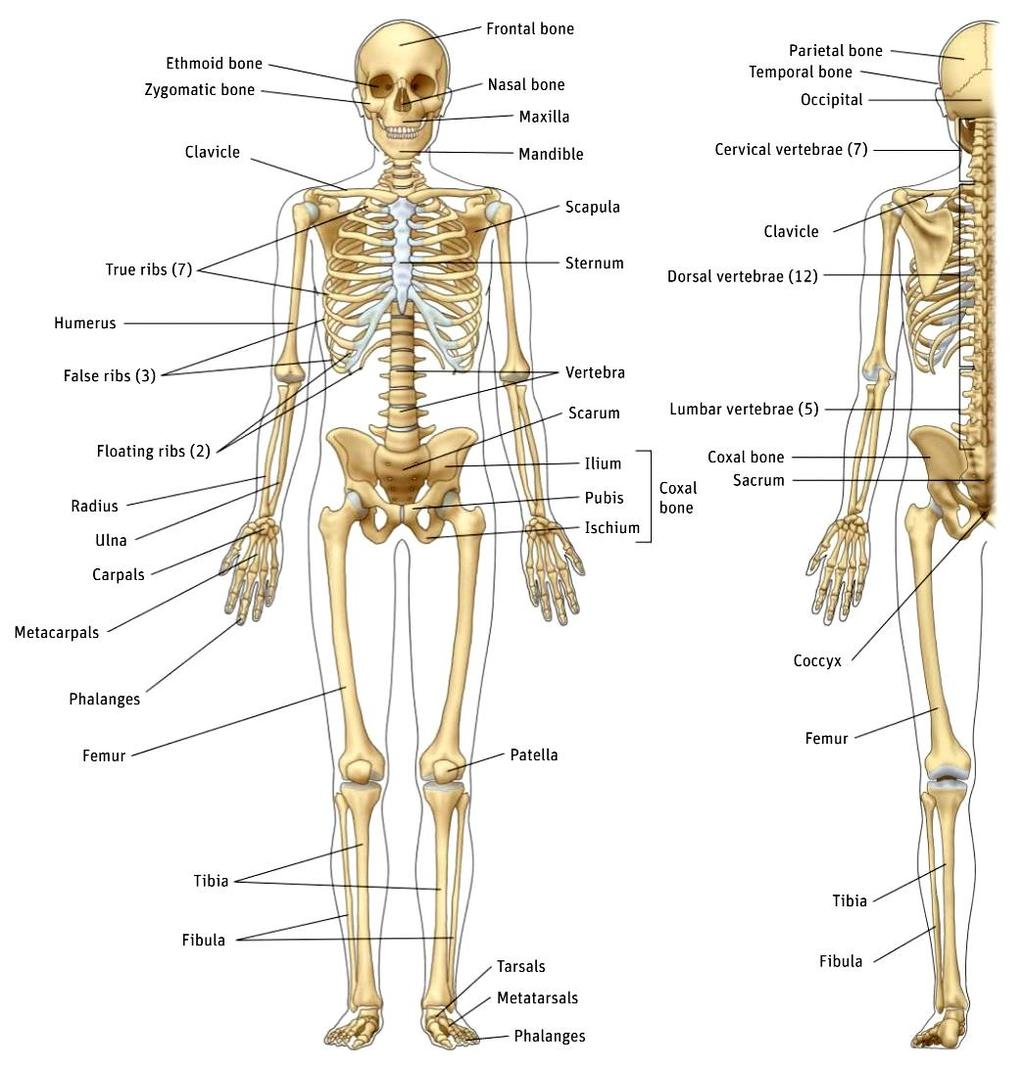 Unit 7 Skeletal And Muscular Systems Pdf