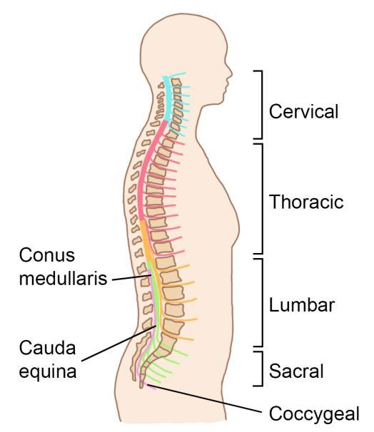 Spinal Cord Anatomy. Key Points. What is the spine? Areas of the ...