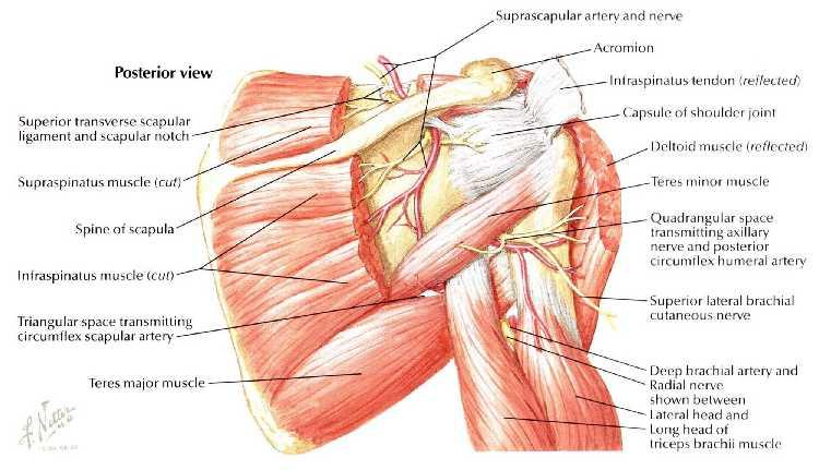 FUNCTIONAL ANATOMY OF SHOULDER JOINT - PDF