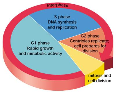 unit 2 reproduction and development the cell cycle pdf G1 Phase of Cell Cycle page 1 the cell cycle cell cycle a continuous series of cell growth and