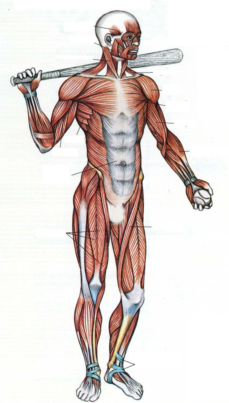 Skeletal Muscle. Move your bones. Voluntary ( ) Over. Long. Cardiac ...
