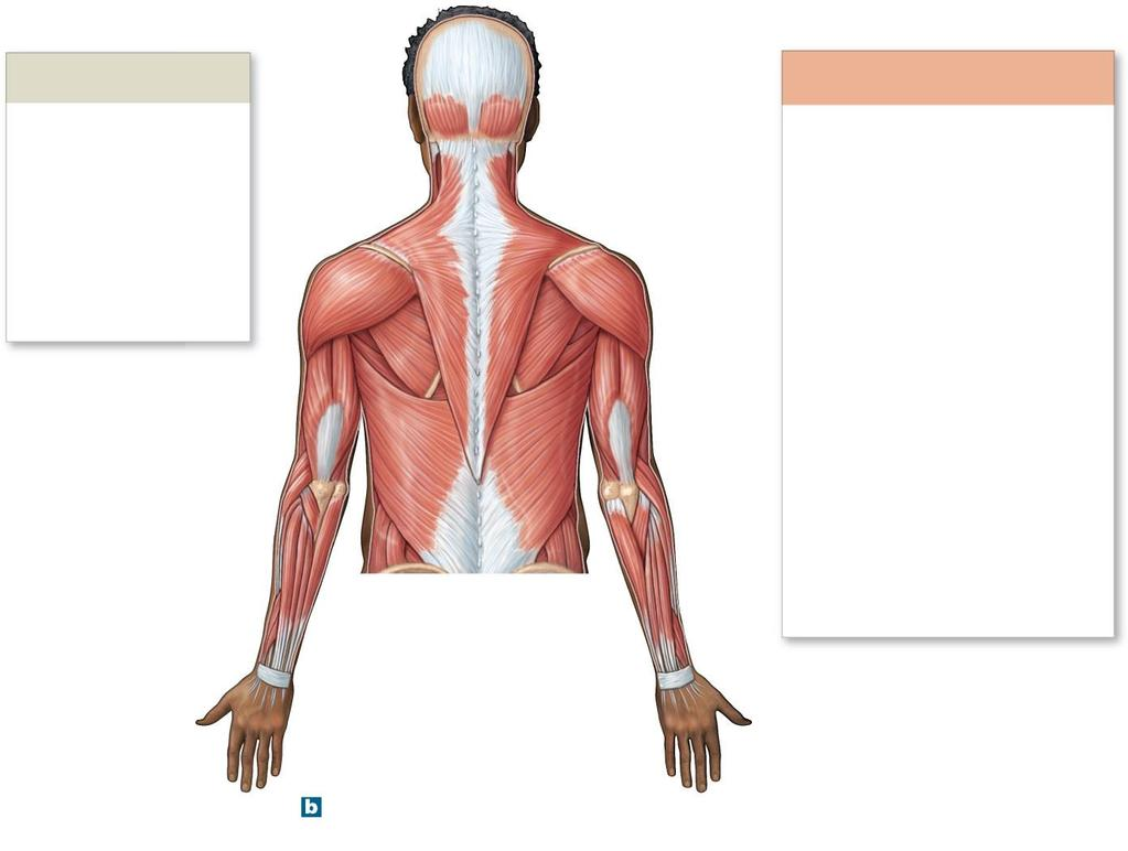 The Muscular System. PowerPoint Lecture Presentations prepared by ...
