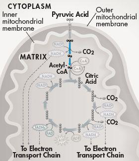 Citric Acid Production Once pyruvic acid is in the mitochondrial matrix, NAD + accepts 2 high-energy