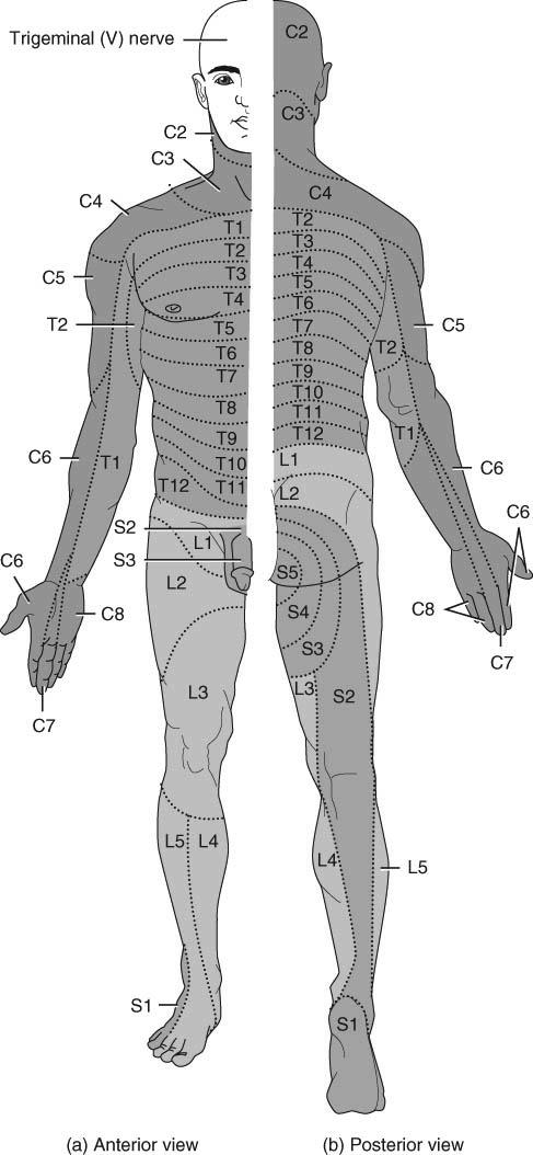 Chapter 13. The Spinal Cord & Spinal Nerves. Spinal Cord. Spinal ...