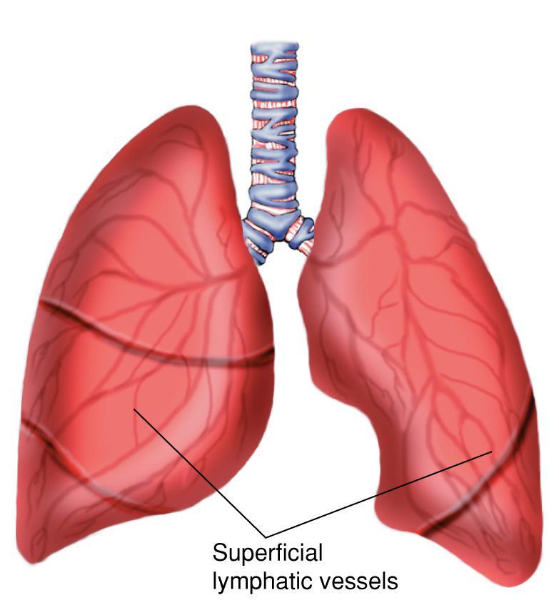The Anatomy and Physiology of the Respiratory System - PDF
