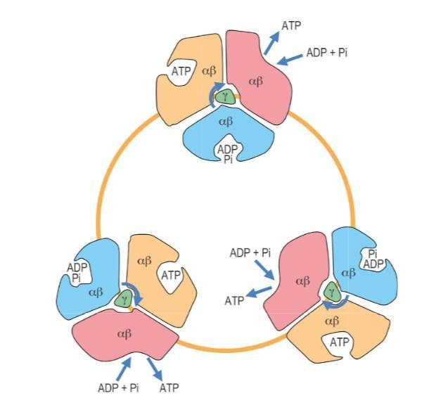 Binding-change mechanism of ATP synthase.