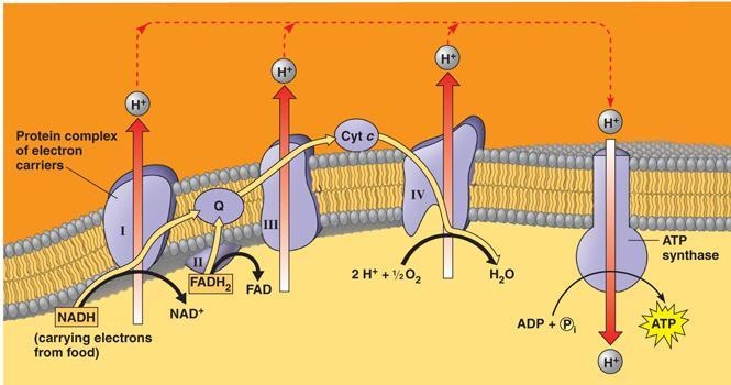 30. To sustain high rates of glycolysis under anaerobic conditions, cells require a.) functioning mitochondria. b.) oxygen. c.) oxidative phosphorylation of ATP. d.) NAD +. e.