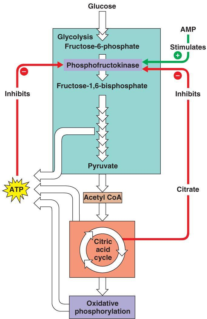 How will a respiratory uncoupler affect the rates of glycolysis and the citric acid cycle? a.) Both will increase.