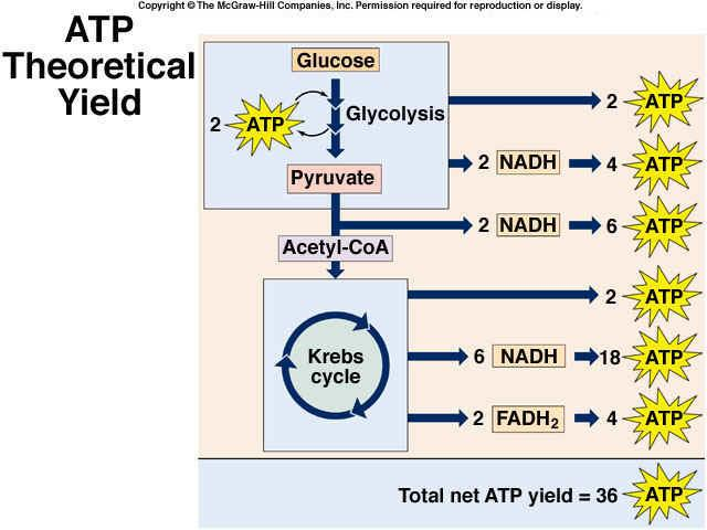 Conversion of Energy Molecules: NADH = 3 ATP FADH 2 = 2 ATP NADH in cytoplasm from glycolysis = FADH 2 in mitochondrial matrix Theoretical Yield of ATP substrate