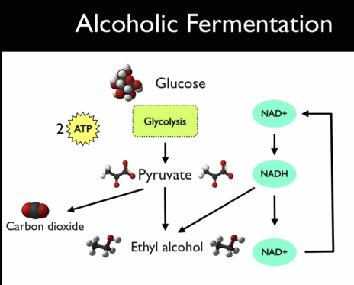 Fermentation* Alcoholic Fermentation Yeasts and a few other microorganisms use alcoholic