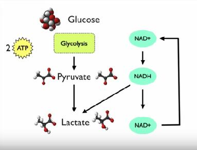 Fermentation* Lactic Acid Fermentation Pyruvic acid that accumulates as a result