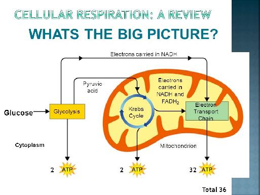 The Totals The breakdown of glucose through cellular respiration,