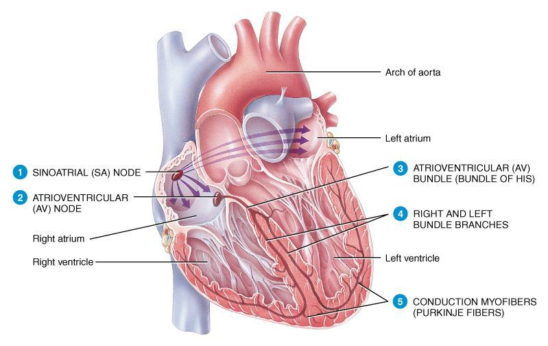 Anatomy & Physiology of Cardiovascular System. Chapter 18 & 19 - PDF