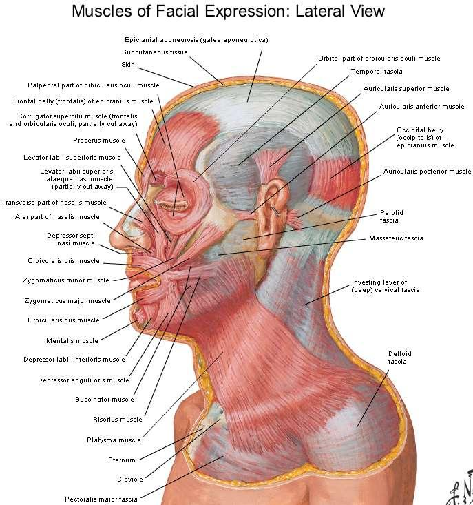 3 Deep Fascia Is Absent Except Over The Parotid Gland