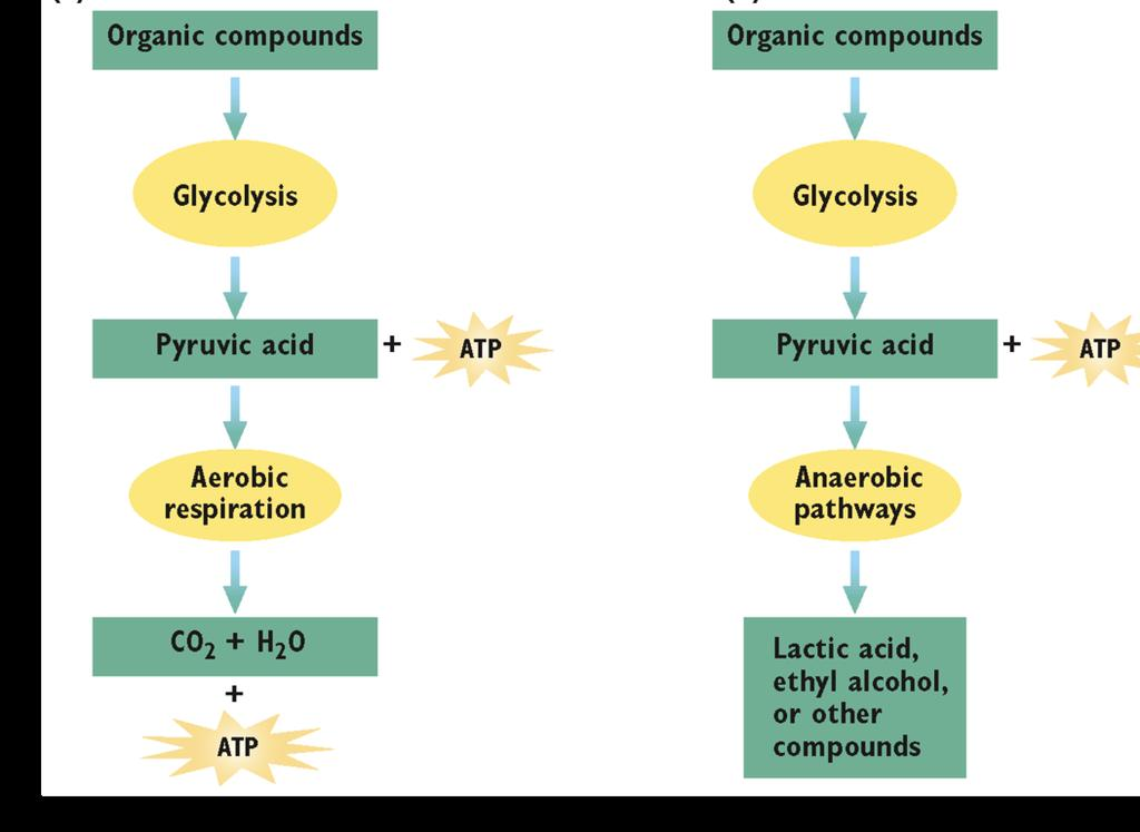 Fermentation If is not present, some cells can convert pyruvic acid into other compounds through additional biochemical pathways that occur in the cytosol.