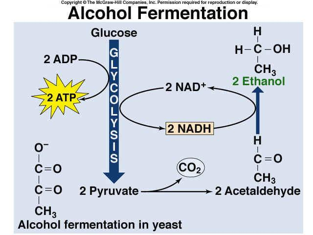 Alcohol Fermentation Some plants and unicellular organisms, such as yeast,