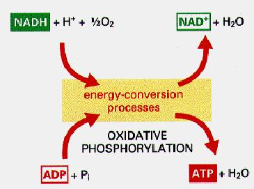 Respiratory chain oxidizes reducing equivalents and acts as a proton pump.