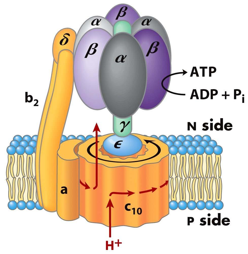 ATP Synthase a subunit binds to outside of ring Exterior column has 1 a subunit 2 b subunits, & the δ subunit Moving unit (rotor) is c ring & γε