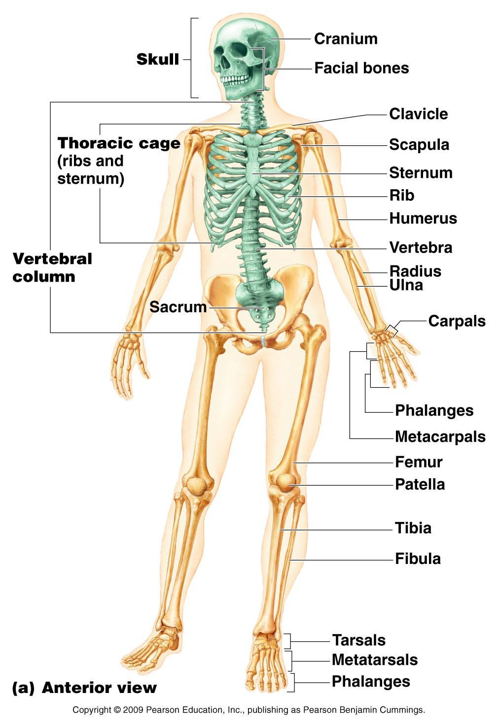The Skeletal System Part A Powerpoint Lecture Slide Presentation By