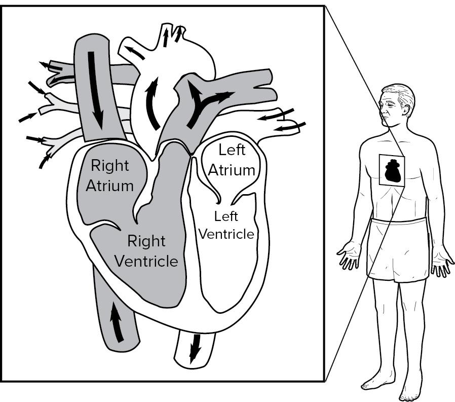All About the Heart. Structures of the heart. Layers. Chambers - PDF