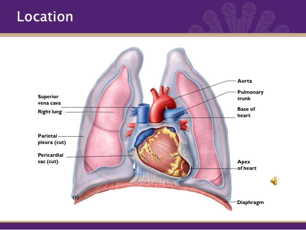 The Cardiovascular System Is Composed Of The Heart And Blood Vessels