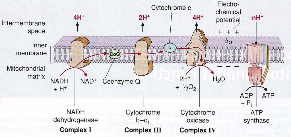 Respiratory chain (ETC) during redox reaction the energy is released pumping H + from