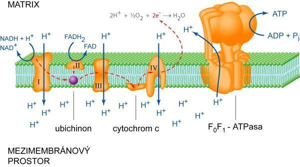 Respiratory chain & oxidative phosphorylation