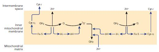 Cycle of coenzyme Q rotation of 1 cycle leads to o oxidation of 2 molecules of QH 2 and 4 H + are