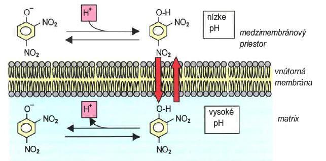 Uncouplers of oxidative phosphorylation uncouplers dissociate oxidation in the respiratory chain from phosphorylation in vivo toxic compounds causing respiration to become uncontrolled