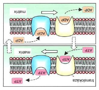 Transfer of ADP/ATP through membrane